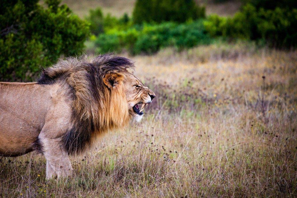 lion predator big cat cat 162093 1024x683
