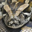Giant Pythons Discovered In Indiana's Brown And Monroe County Salt Creek Is Fake News