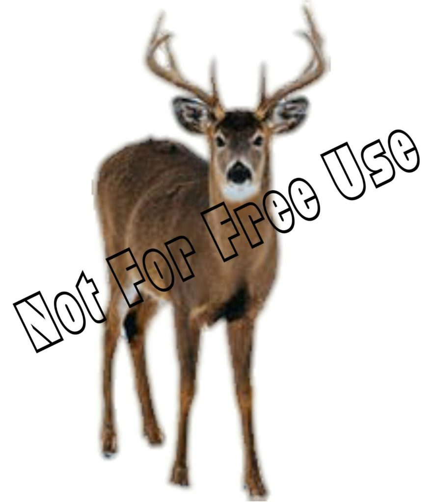 Whitetail Deer Buck Digital Image for Website Category Hunting or Animals