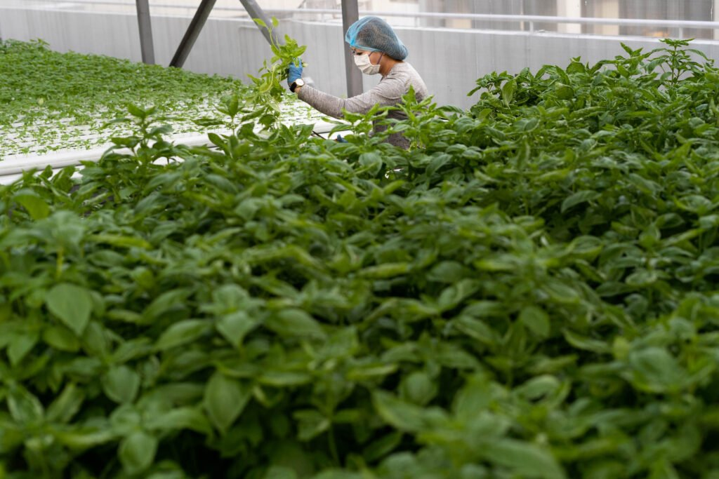 Comcrop worker harvesting greens
